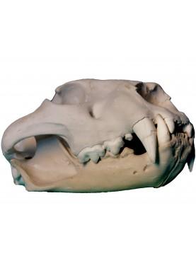 Cranio di leone in gesso