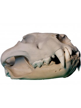 Cranio di Leone africano - Panthera leo