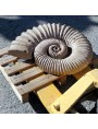 Ammonite frontal view hand-carved