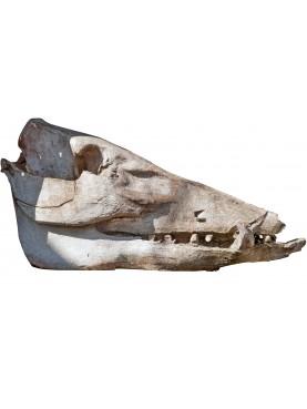 big Warthog skull