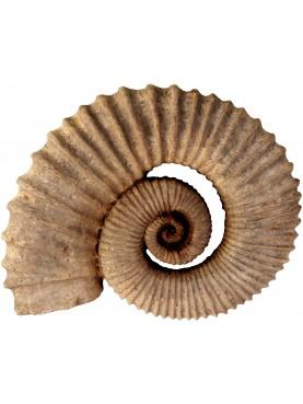 riproduzione di Ammonite Eteromorfa patinata scura