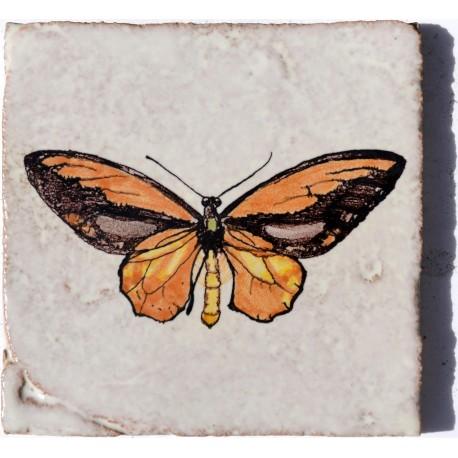 Foto dal vero di Ornithoptera croesus (Wallace, 1859)