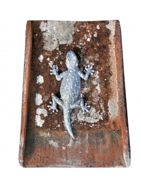 Tiled gecko on Tuscan / Roman ancient tile - Tarentola mauritanica