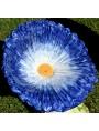 Margherita blu con disco giallo