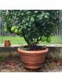 Può ospitare un agrume di 180/200 cm di larghezza/altezza